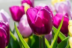 Tulipano rosso al sole Fotografia Stock Libera da Diritti
