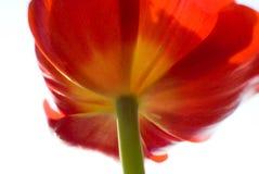 Tulipano rosso astratto fotografia stock