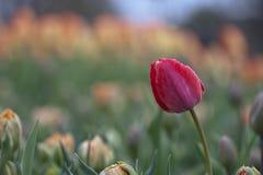 Tulipano rosso che sta fuori in una folla Fotografia Stock