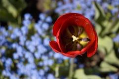 Tulipano rosso con i fiori blu Fotografia Stock Libera da Diritti