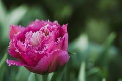 Tulipano rosso di fioritura di Kingston, fuoco selettivo, concetto del fondo della cartolina della molla fotografia stock