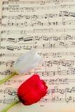 Tulipano rosso e bianco Fotografie Stock