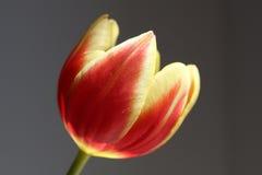 Tulipano rosso e giallo Fotografie Stock Libere da Diritti