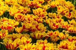 Tulipano rosso e giallo Immagini Stock Libere da Diritti