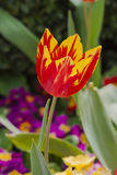 Tulipano rosso e giallo Immagine Stock Libera da Diritti
