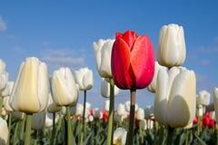 Tulipano rosso e tulipani e cielo blu bianchi Immagini Stock