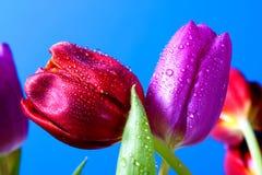 Tulipano rosso e viola Fotografia Stock Libera da Diritti