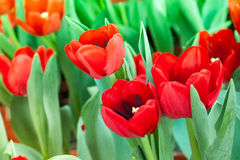 Tulipano rosso floreale Immagini Stock Libere da Diritti