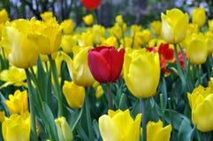 Tulipano rosso fra quei rossi Fotografia Stock Libera da Diritti