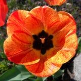 tulipano Rosso-giallo Fotografie Stock Libere da Diritti
