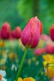 Tulipano rosso nel giardino floreale Fotografie Stock Libere da Diritti