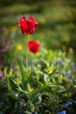 Tulipano rosso nel giardino un giorno soleggiato blurry fotografia stock