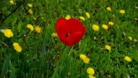 Tulipano rosso nell'ala stock footage