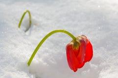 Tulipano rosso in neve, soleggiata, colpo di mattina Immagine Stock Libera da Diritti