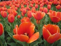 tulipano rosso scuro Fotografia Stock