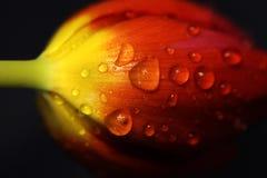Tulipano rosso splendido con le gocce di pioggia fotografie stock