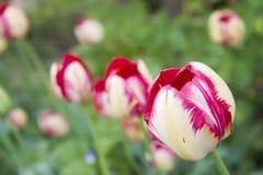 Tulipano sbocciante Immagini Stock