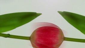 Tulipano sbocciante nel fondo bianco archivi video