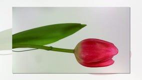 Tulipano sbocciante nel fondo bianco stock footage