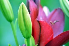 Tulipano sbocciato rosso su un gambo verde, macro fotografia stock libera da diritti