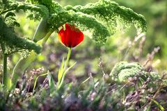 Tulipano selvatico Fotografia Stock
