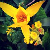 Tulipano selvatico immagini stock libere da diritti