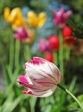 Tulipano solo Immagine Stock