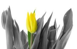 Tulipano solo fotografia stock