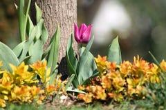 Tulipano solo del purlpe Fotografia Stock Libera da Diritti