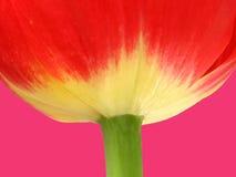 Tulipano in su Fotografie Stock Libere da Diritti
