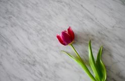 Tulipano su marmo bianco Fotografie Stock