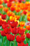 Tulipano sul file su Fotografia Stock Libera da Diritti