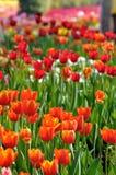 Tulipano sul file su Immagini Stock