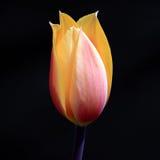 Tulipano sul nero Fotografia Stock Libera da Diritti