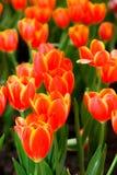 Tulipano in Tailandia Fotografia Stock Libera da Diritti