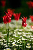 Tulipano turco Fotografia Stock Libera da Diritti