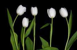 tulipano in una riga Immagine Stock Libera da Diritti
