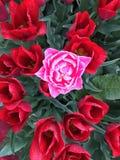 Tulipano unico nel campo Fotografie Stock Libere da Diritti