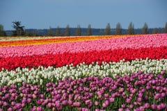 Tulipano variopinto Fotografia Stock