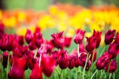Tulipano variopinto Fotografia Stock Libera da Diritti