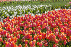 Tulipano variopinto nell'azienda agricola del tulipano Immagini Stock Libere da Diritti