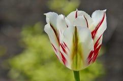 Tulipano verde ardente Edwards Gardens Fotografia Stock
