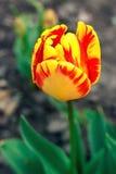 Tulipano vibrante, giallo, variopinto fiori del tulipano nel sole di primavera Tulipano nel campo Fotografie Stock Libere da Diritti