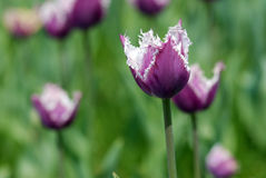 Tulipano viola Fotografie Stock