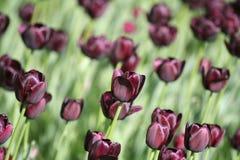 Tulipano viola Fotografia Stock