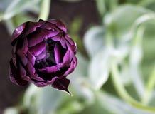Tulipano viola Fotografie Stock Libere da Diritti
