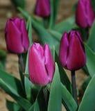 Tulipano viola Immagine Stock Libera da Diritti