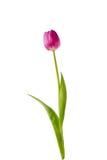 Tulipano viola su priorità bassa bianca Fotografie Stock