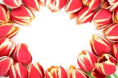 Tulipanowa kwiat granica Obraz Royalty Free