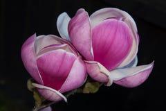 Tulipanowa magnolia Obraz Royalty Free